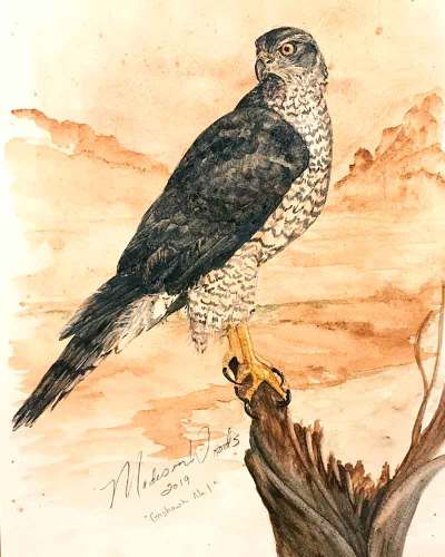 """Goshawk No. 1"", 12 x 17"", handmade watercolors using Ozark pigments."