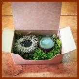 Comes in a box with large acorns nested in preserved moss.