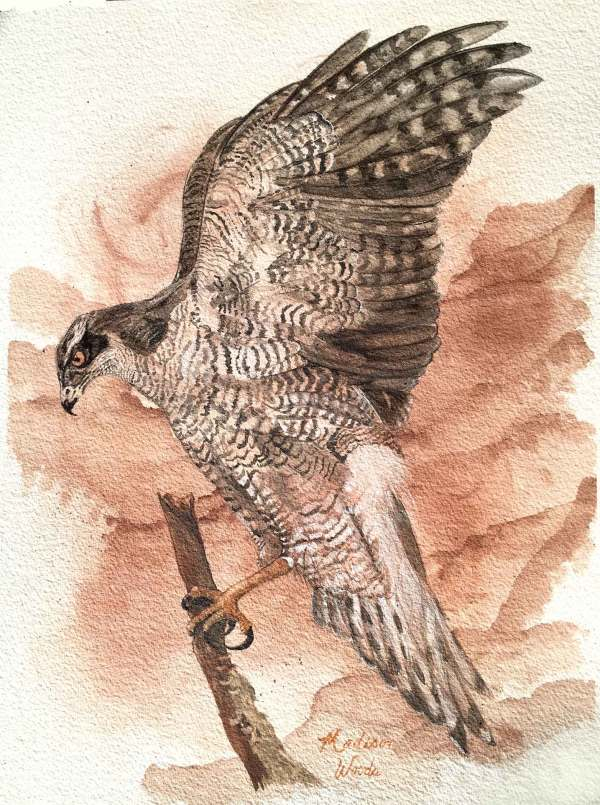 Watercolor painting of a northern goshawk by Madison Woods