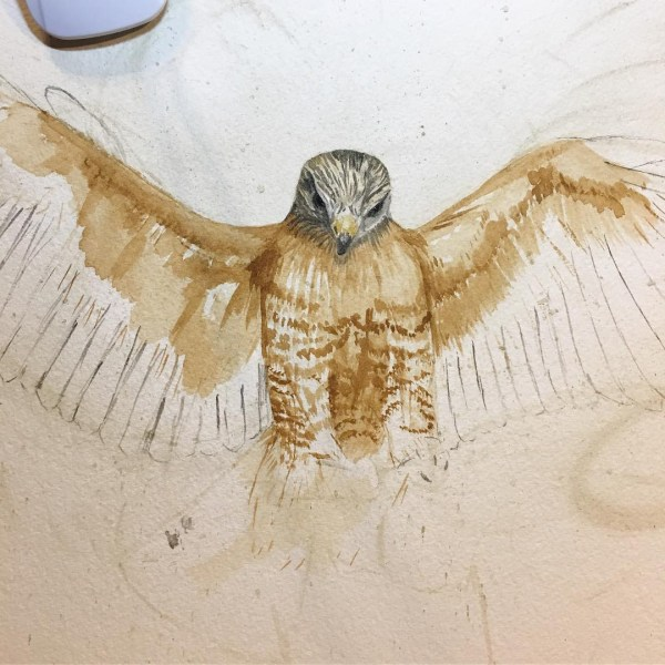 Red-shouldered hawk in progress.