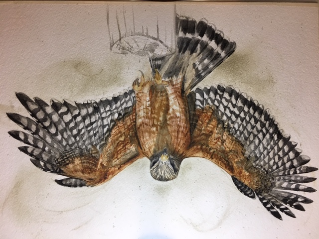 Red-shouldered hawk painting in progress, using handmade watercolors from Ozark pigments.