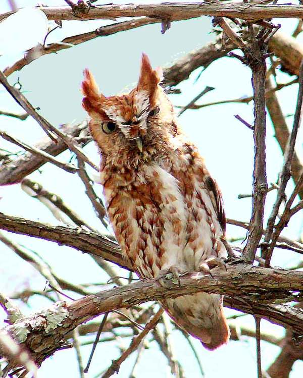 A screech owl fledgling at Wild Ozark. The Ozark Phenology page mascot.