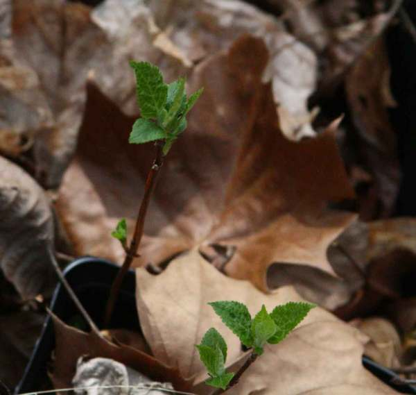 Wild hydrangea starts to put on leaves early in April in the ginseng habitat.