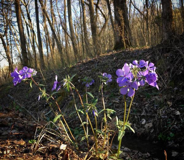 Phlox grows in many shady environments, not just in the ginseng habitats.