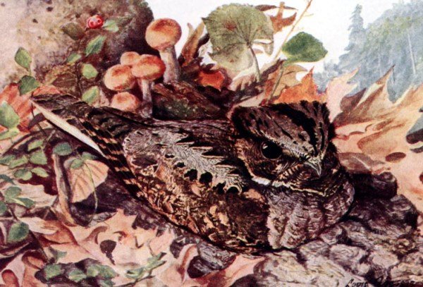 A whippoorwill painting