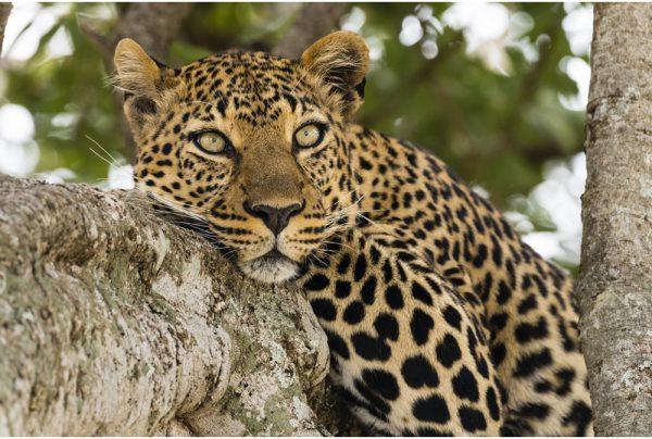 leopard wild republic