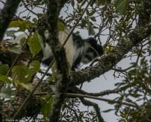 Mau Forest guereza (Colobus guereza matschiei). Western Mau Forest Reserve, Kenya.