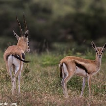 Thomson's gazelle, Lolldaiga Hills Ranch, Laikipia.