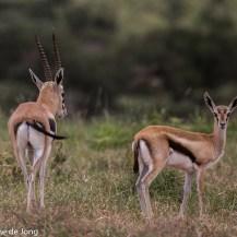 Thomson's gazelle, Lolldaiga Hills Ranch, Laikipia.