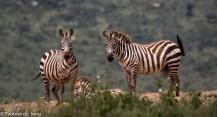 Plains zebra, Lolldaiga Hills Ranch, Laikipia.