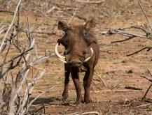 Adult male desert warthog Phacochoerus aethiopicus, Lekurruki Conservancy, Laikipia. Photograph by Yvonne de Jong & Tom Butynski.