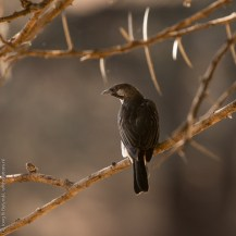 Greater honeyguide (Indicator indicator) at Lepile Dam, Lesirikan, Samburu County, Kenya.