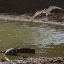 Helmeted terrapin (Pelomedusa neumanni), whiskered tern (Chlidonias hybridaat) and three-banded plover (Charadrius tricollaris) at Lepile Dam, Lesirikan, Samburu County, Kenya.