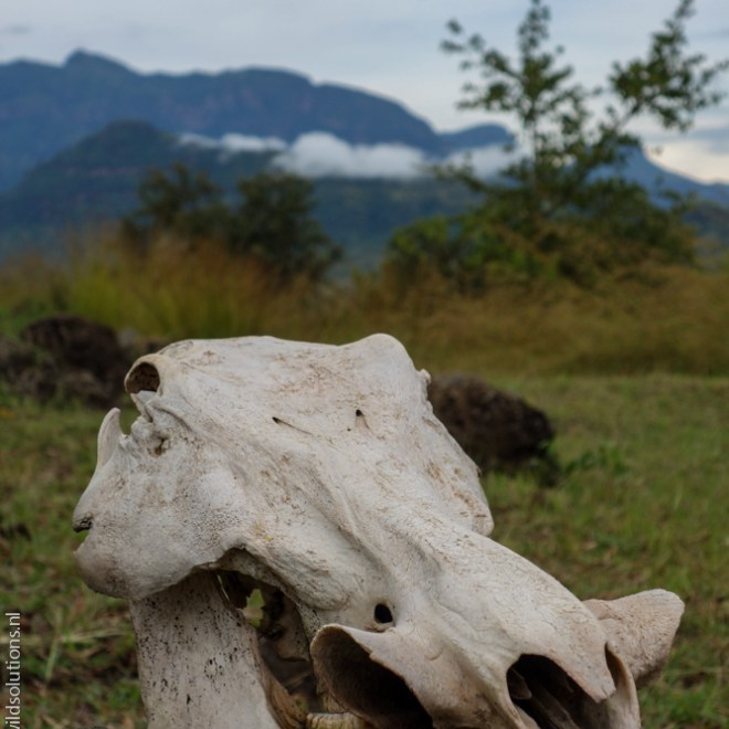 Common warthog skull, Pian Upe Game Reserve