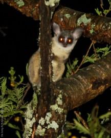Senegal lesser galago (Galago senegalensis senegalensis), Imatong Mountains of Uganda
