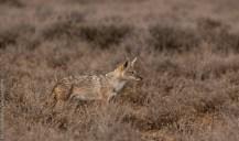 African golden wolf (Canis anthus), Lesirikan, Samburu County, Kenya.