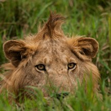 Lion, Kidepo Valley National Park