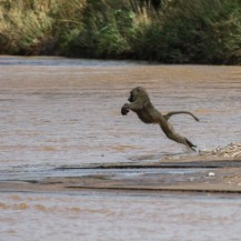 of olive baboons Papio anubis crossing the Kidepo River near the South Sudan - Uganda border in Kidepo Valley National Park.