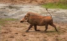 Common warthog, Tsavo East National Park