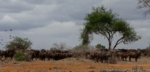 African buffalo, Tsavo East National Park