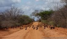 vulturine guinea fowl, Tsavo East National Park