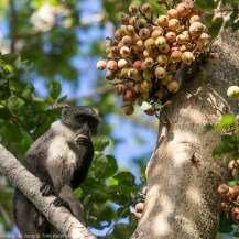 Pousargues's monkey (Cercopithecus mitis albotorquatus) at Ndera Conservancy, Lower Tana River, Kenya
