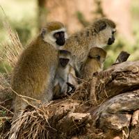 Hilgert's vervet monkey (Chlorocebus pygerythrus hilgerti), Borana Ranch