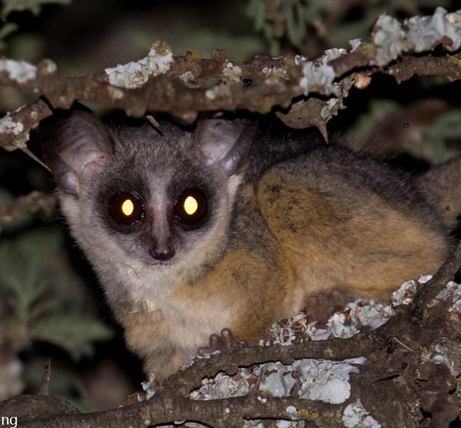 Kenya lesser galago (Galago senegalensis braccatus), Tumbili Estate