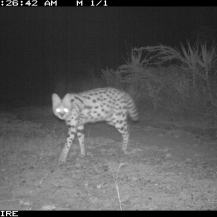 Serval (Leptailurus serval) at Tumbili Estate, Laikipia