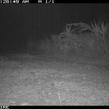 Serval (Leptailurus serval) at Tumbili Estate, Laikipia