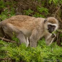Hilgert's vervet monkey (Chlorocebus pygerythrus hilgerti), Taita Wildlife Sanctuary