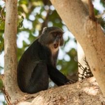 Zanzibar Sykes's monkey (Cercopithecus mitis albogularis), Kitobi Forest