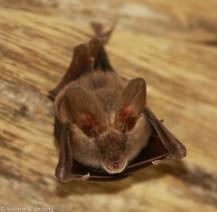 Slit-faced bat (Nycteris sp.), Tumbili Estate