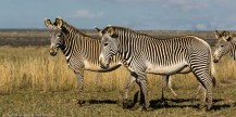 Grevy's zebra at Loisaba Conservancy, Laikipia.