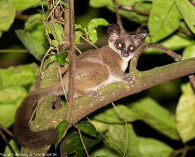 Spectacled lesser galago (Galago matschiei), Kibale Forest NP, Uganda