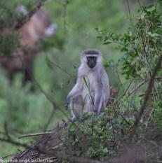 Vervet monkey (Chlorocebus pygerythrus), Katonga Game Reserve, Uganda