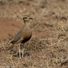 Temminck's courser, Lolldaiga Hills Ranch.