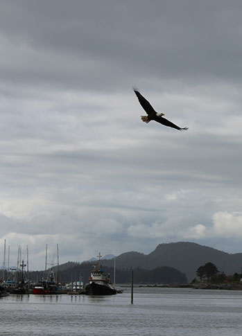 Bald Eagle Searching for Prey over the harbor