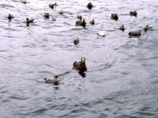 Birds On the Water near a fishing vessel