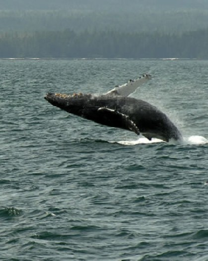 Breaching Whale in Sitka