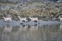 Deer Along the Waters Edge in Sitka, Alaska