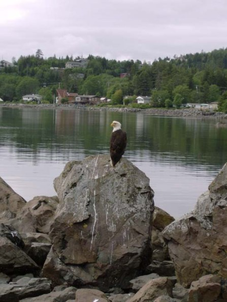 Eagle Perched Outside the Cabin at APC