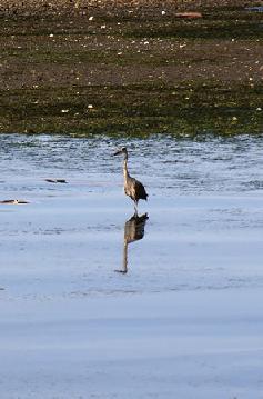 Heron in the Estuary in Sitka