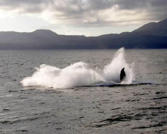 Splash Of A Breaching Whale