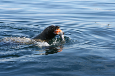 This Sea Lion Stole The Salmon Right Off The Hook