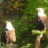 bald eagle, alaska raptor center, eagles, sitka alaska