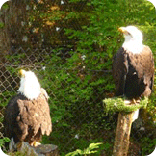 bald eagle, alaska raptor center, eagles, sitka alaska