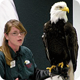 bald eagle, alaska raptor center, eagles, sitka alaska, staff member, learning about eagles