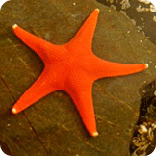 orange starfish, sitka hatchery, science center, sitka alaska