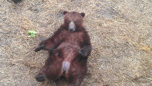 One of the bears kicking back at the Fortress of the Bear